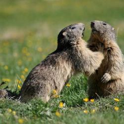 Les marmottes qui sifflent aux alentours